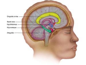 Brain_limbic